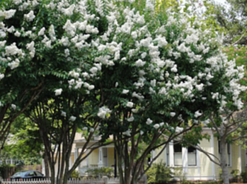 crepe myrtle_third avenue